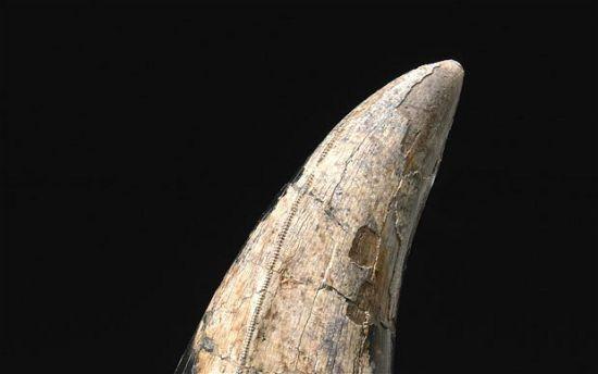 Ząb tyranozaura reksa